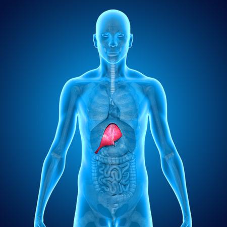 Liver photo