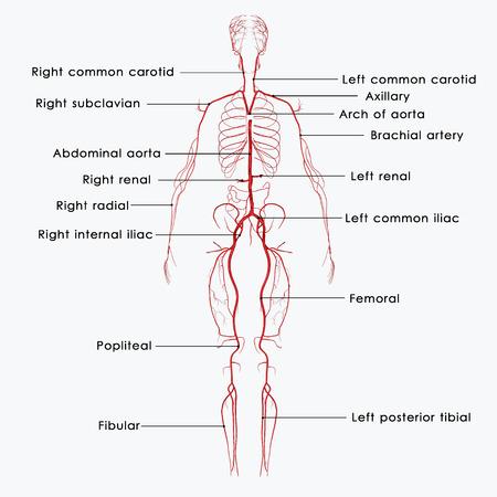 heart muscle cells: Arteries_labels