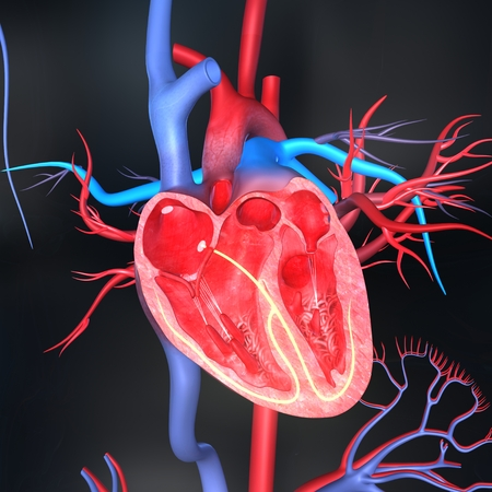 corazon humano: Intersecci�n del coraz�n
