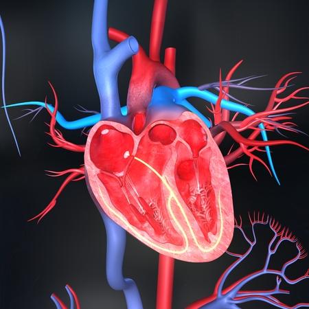 corpo umano: Intersezione Cuore