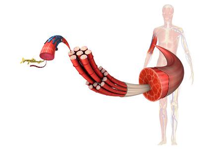 musculos: Músculo Foto de archivo