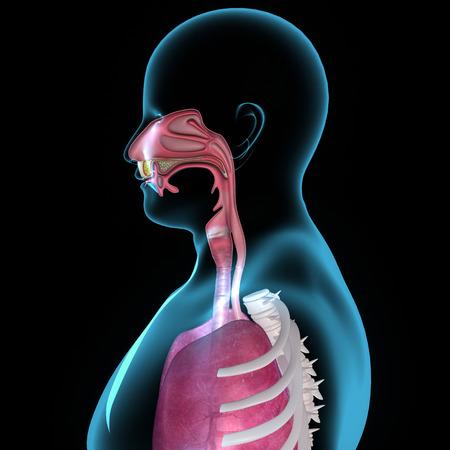 aparato respiratorio: Anatom�a de la boca