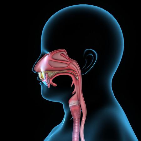 golondrinas: Anatomía de la boca