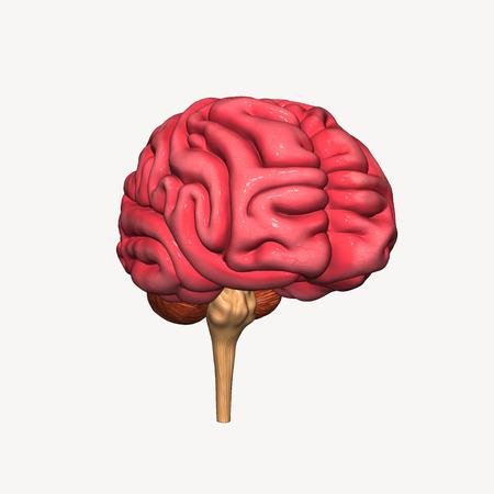 hipofisis: Cerebro Foto de archivo