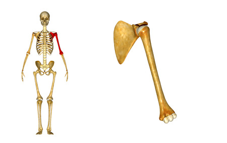 musculoskeletal: Scapula with Humerus Stock Photo