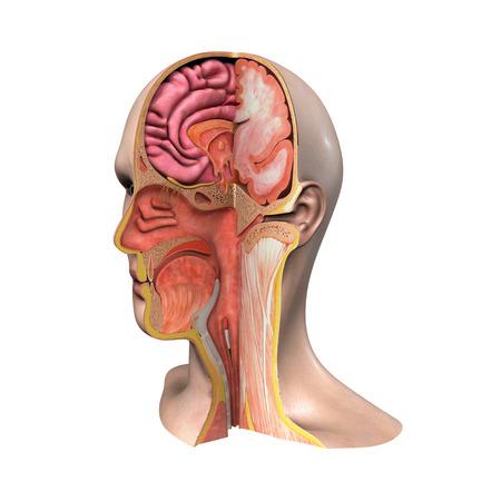 oreja: Anatom�a de la cara Foto de archivo
