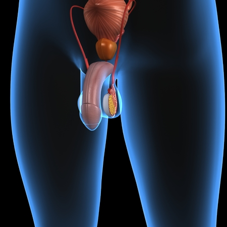 testicles: Sistema reproductor masculino