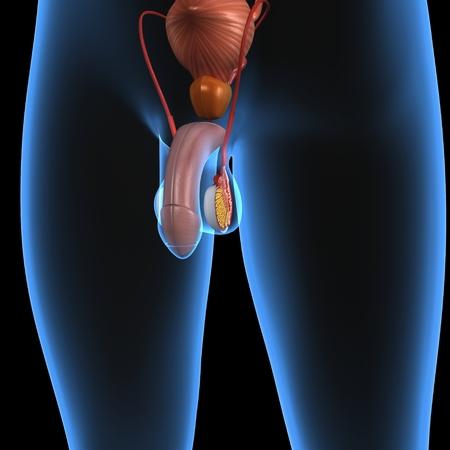 pene: Sistema riproduttivo maschile