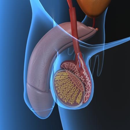 Le système reproducteur mâle Banque d'images