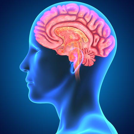 temporal: Brain Stock Photo