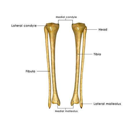 Fibula and tibia Stock Photo
