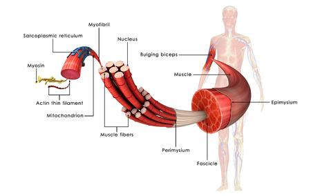 El tejido muscular Foto de archivo - 33781222