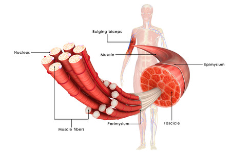 Muscle tissue Stock Photo