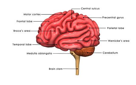 medula espinal: Cerebro Foto de archivo