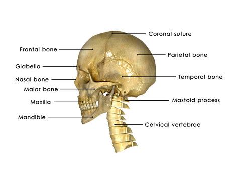 anatomy x ray: Skull