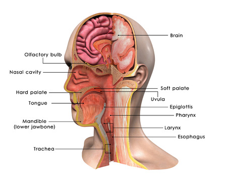 throat: Face anatomy Stock Photo