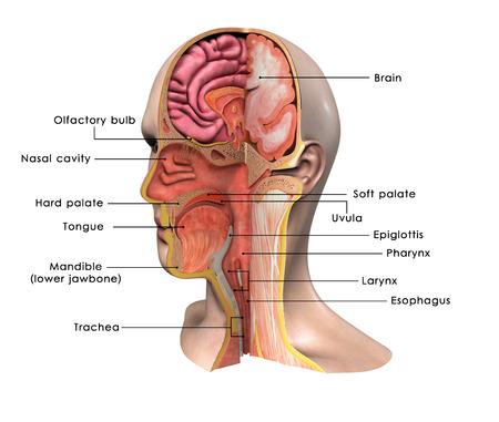 nasal cavity: Face anatomy Stock Photo