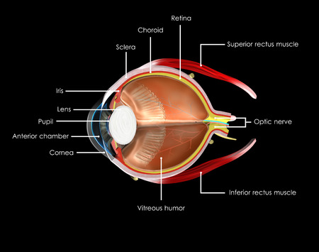 detachment: Human Eye anatomy labelled