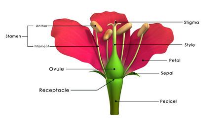 Delen van een bloem gelabeld