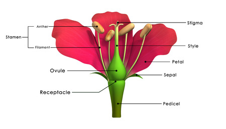 Parts of a flower labelled Imagens