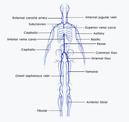 varicose veins: Veins