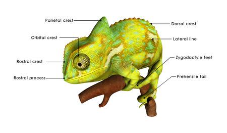chamaeleo: Chameleon Stock Photo