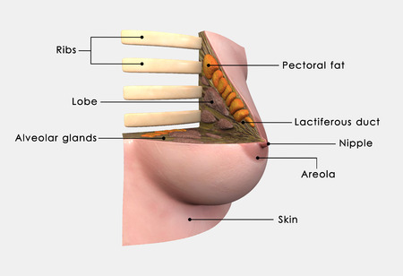 female breast: Breast anatomy labelled