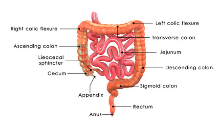 descending colon: large intestine labelled