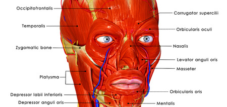 Facial muscles labelled Stock Photo