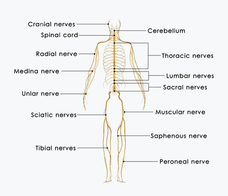 Nerves labelled