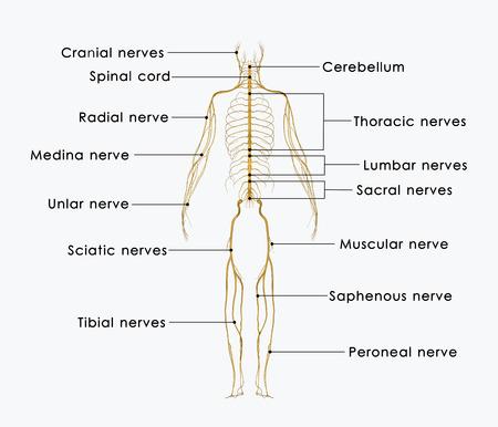 sciatic nerve: Nerves labelled