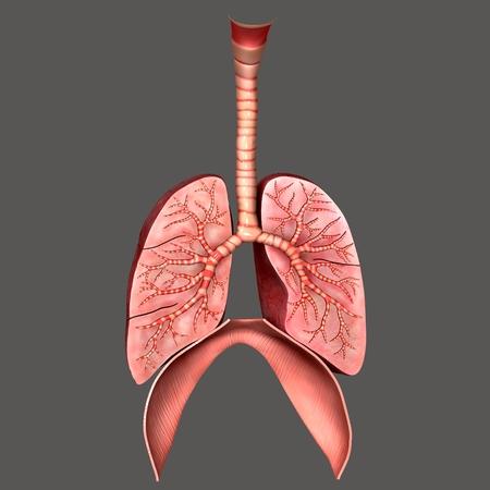 Lungs anatomy photo
