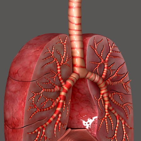 bronchiole: Lungs anatomy Stock Photo