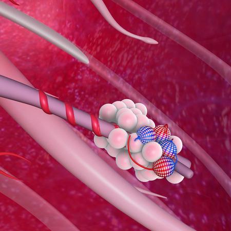 Alveoli photo