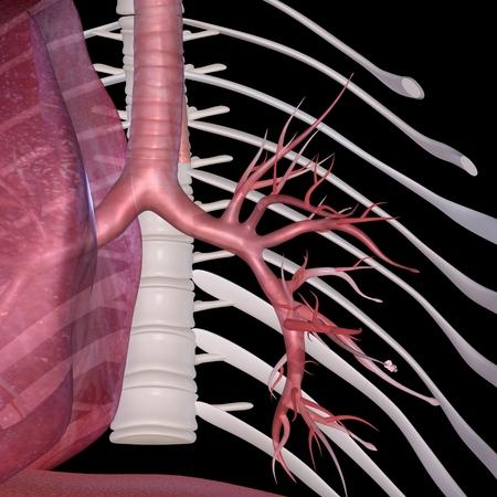 alveolos pulmonares: Alvéolos Foto de archivo