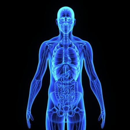 Menselijke anatomie Stockfoto - 33430566