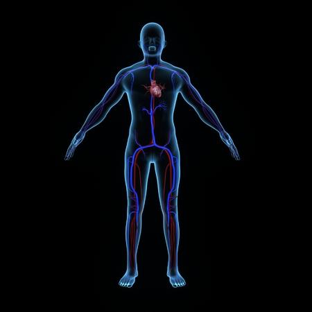 human heart anatomy: Human heart