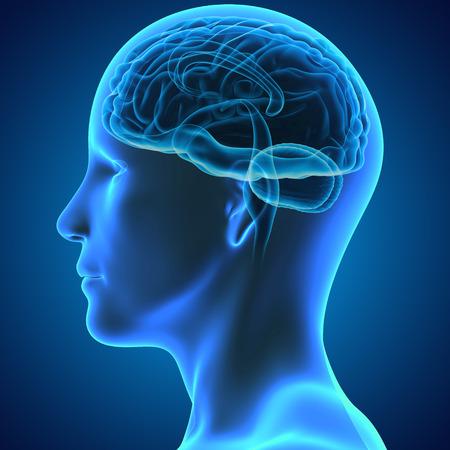 Hersenen Stockfoto