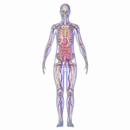 Anatomía humana Foto de archivo - 33430669