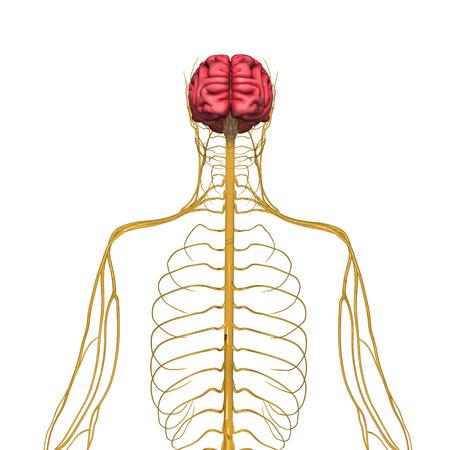 sistema nervioso central: Sistema nervioso