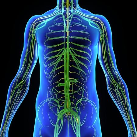organos internos: Sistema circulatorio