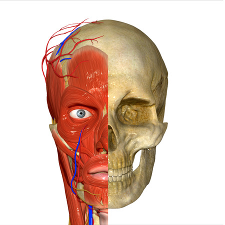muscular system: Face muscles Stock Photo
