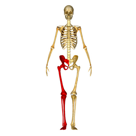 lower limb: Pelvic hip with legs