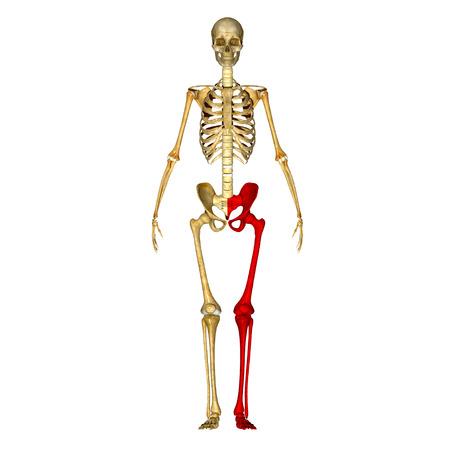 Pelvic hip with legs photo