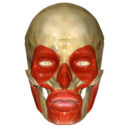 Los Músculos Faciales Fotos, Retratos, Imágenes Y Fotografía De ...