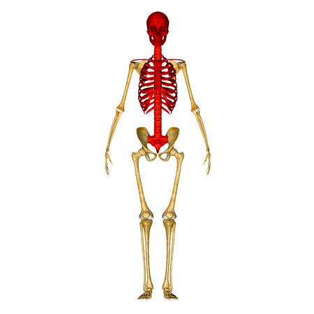 ribs: Skull with ribs