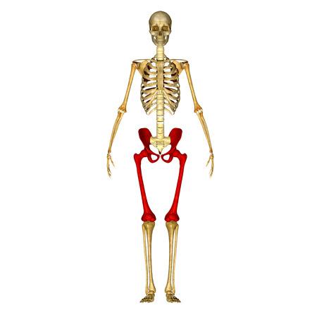 femur: Pelvic hip with femur Stock Photo