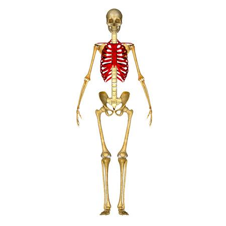 ribcage: Ribcage Stock Photo