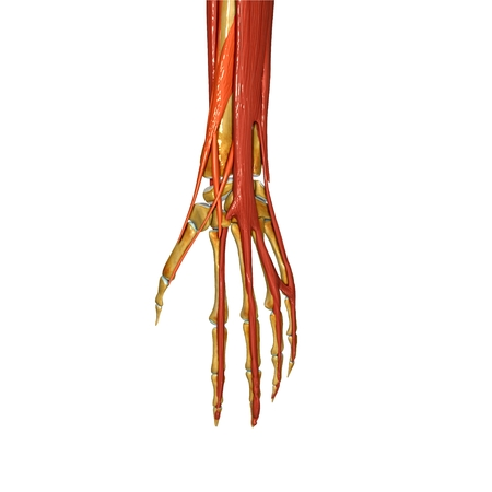 Anatomie Ansicht Von Hand Und Handgelenk Eines Mannes Mit Abductor ...