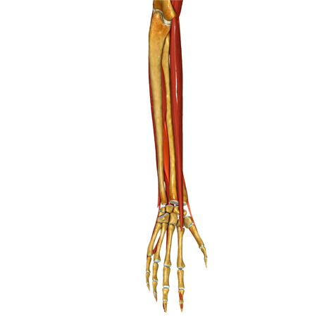 abductor: Hand Muscles
